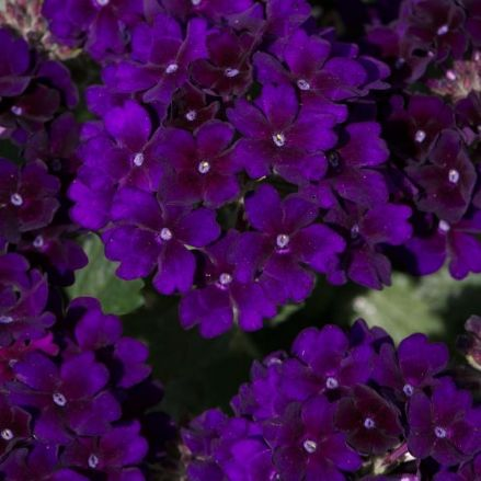 Verbena Showboat Midnight